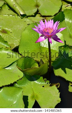 Lotus in natural pond.