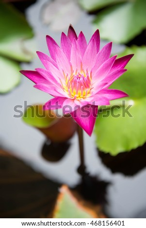 lotus in pond