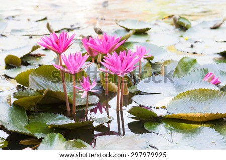 Lotus in the pond. Many lotus flowers in the pond is in full bloom. - stock photo