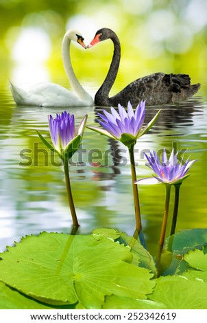 lotus in water and swans - stock photo