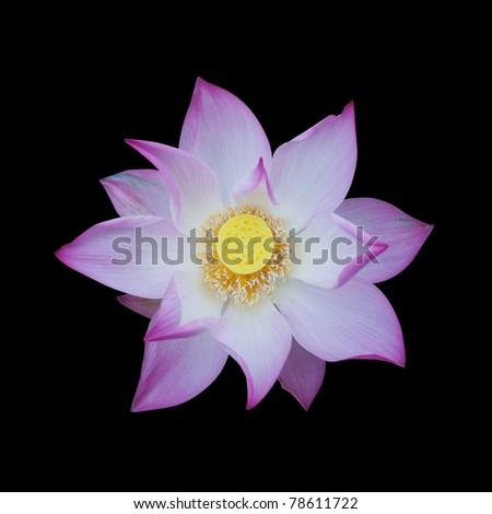 Lotus isolated on black background - stock photo