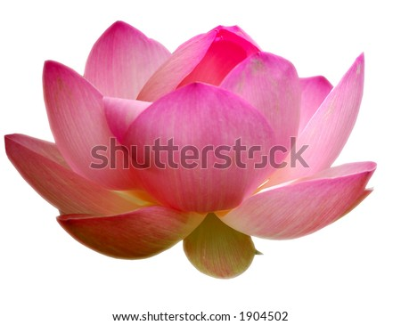 Lotus, isolated on white