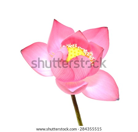 Lotus isolated on white background - stock photo