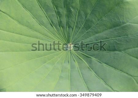 lotus leaf - stock photo