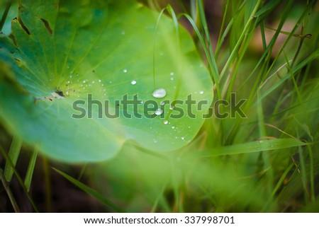 Lotus leaf, dew on the leaf of a flower, Valley of lotuses, Lotus flower, rare flower, ancient flower, symbol of purity, Lotus pink, Oriental Lotus flowers - stock photo