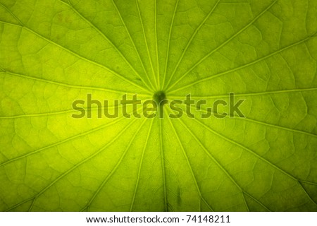 lotus leaf texture - stock photo