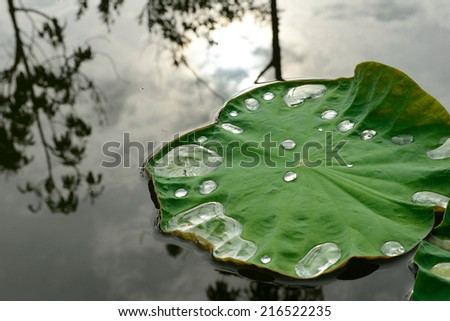 lotus leaf with water drops in pond - stock photo