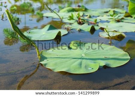 lotus leaves - stock photo