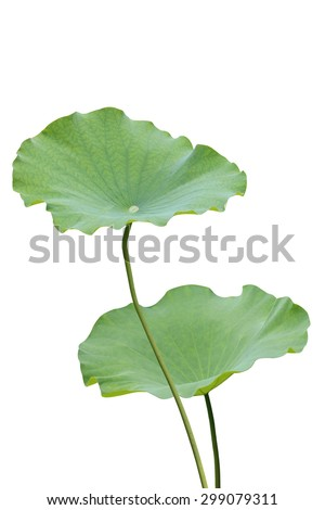 how to prepare lotus leaf