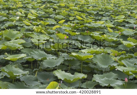 LOTUS LEAVES
