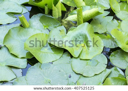 lotus leaves background photo on the lake