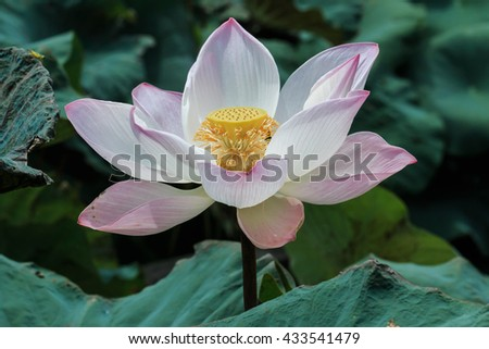 Lotus, lily, Pink lotus blossoms or water, lily flowers blooming on pond, flowers . - stock photo