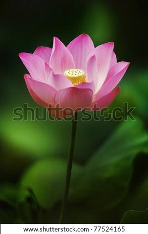 Lotus, Lotus blossom - stock photo