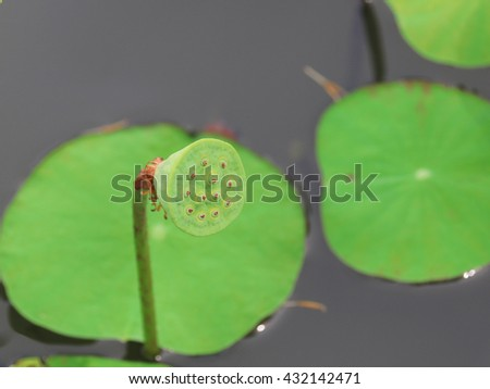 lotus. lotus flower. green lotus flower. lotus flower green background. lotus flower and water. one lotus flower. yellow lotus flower - stock photo