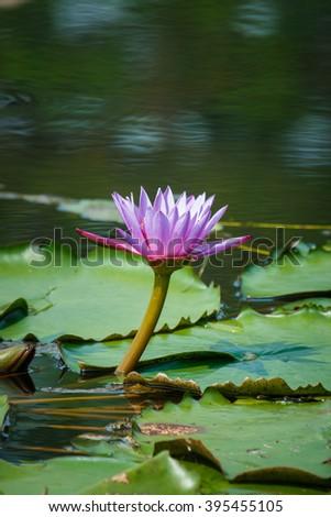Lotus, Lotus in nature,flower,nature. - stock photo