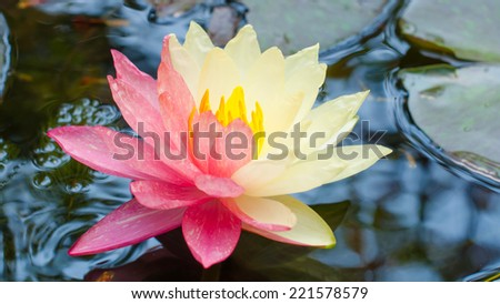 Lotus mutant with two colors in a single flower - stock photo