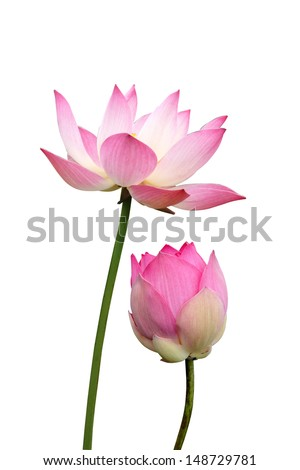 lotus on isolate white background. - stock photo