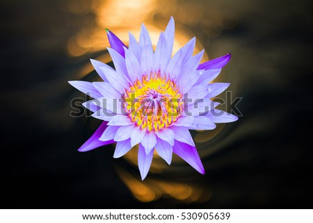 Lotus open flower isolate in pond