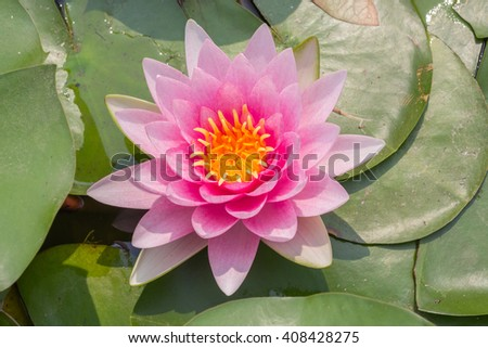 Lotus or water lily flower background