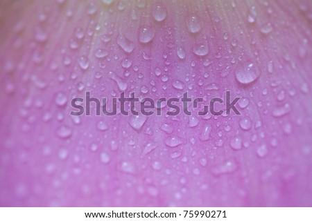 Lotus petals background - stock photo