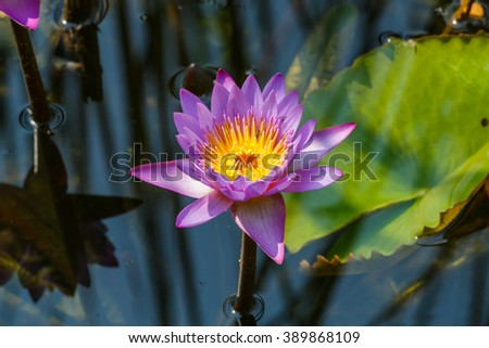 Lotus petals, Lotus,Macro flowers, flowers - stock photo