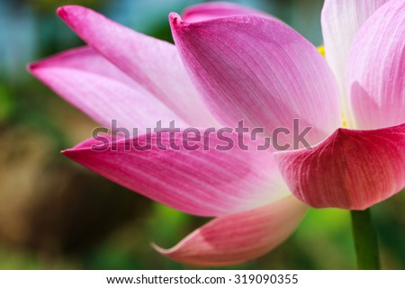 Lotus petals, Lotus,Pods of Lotus,Macro flowers, flowers - stock photo