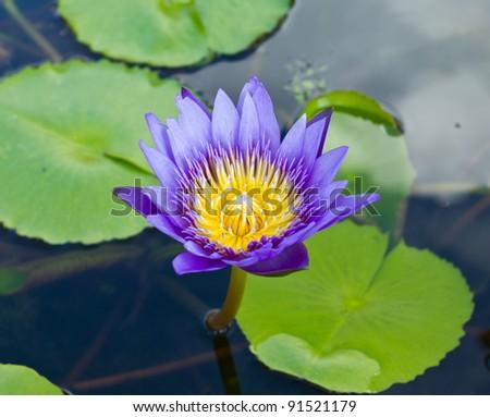 Lotus plant on water - stock photo