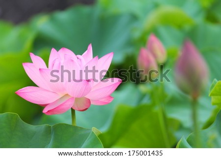 Lotus Pond - stock photo