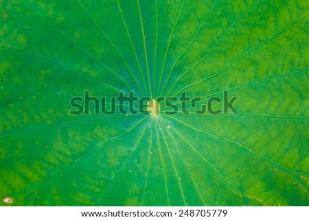 Lotus pond lotus leaf, natural green Asia Thailand. - stock photo