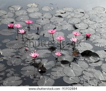 Lotus pond scenery - stock photo
