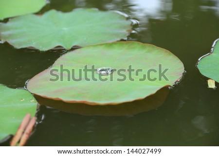 Lotus pond with Lotus Green. - stock photo