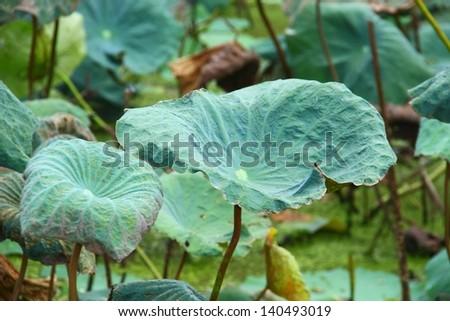 Lotus pond with lotus leaf green. - stock photo