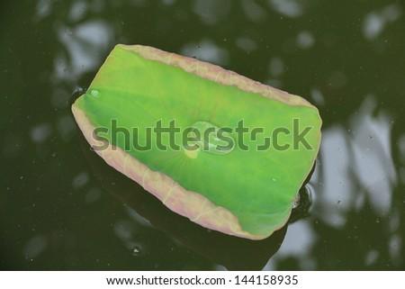 Lotus Pond with Lotus Leaflet Green. - stock photo