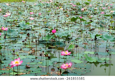 Lotus pool - Pink lotus blossoms or water lily flowers blooming on pond. - stock photo