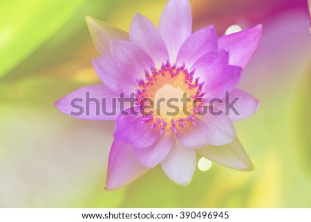 lotus purple water on water background - stock photo