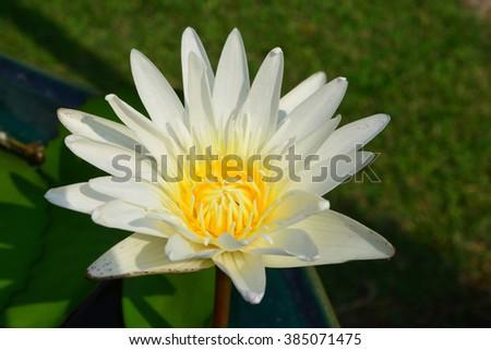 Lotus rare flower. Symbol of purity. - stock photo