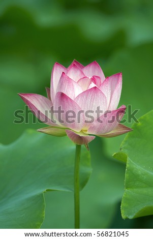 lotus represents peace and virgin - stock photo