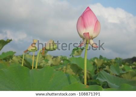 lotus under blue sky - stock photo