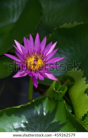 Lotus waterlily flower purple color, Naturally beautiful flowers in the garden