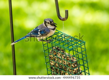 Loud and Raucous Blue Jay (Cyanocitta cristata) with beak open wide as it feeds on block of seed and grain.  Selective focus and shallow dof. - stock photo