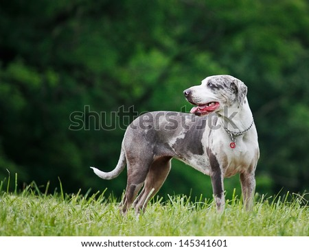 Louisiana Catahoula Leopard Dog - young female with blue eyes