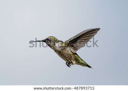 Louisiana Fall Migration of Hummingbirds