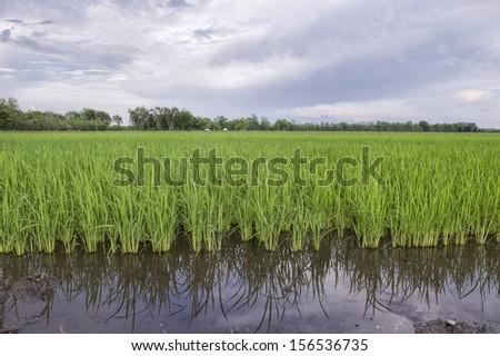 Louisiana Rice Field - stock photo