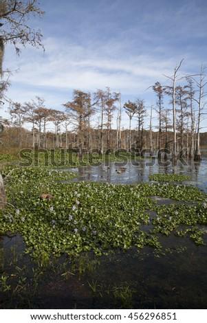 Louisiana swamp - stock photo