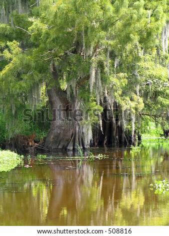 Louisiana Swamp Cypress and Small Gator - stock photo