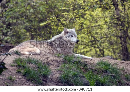 Lounging Grey wolf