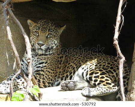 Lounging Leopard - stock photo