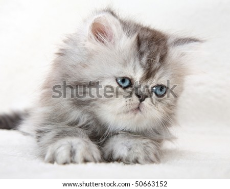 Lovable fluffy kitten