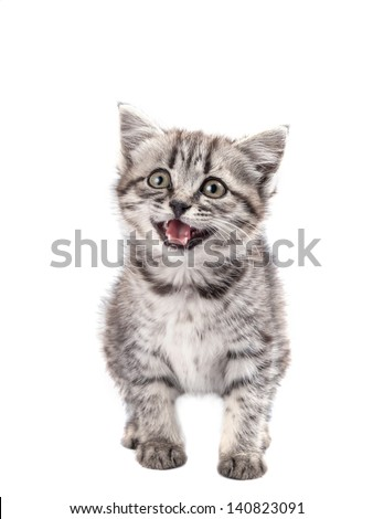 Lovable grey kitten isolated on white background