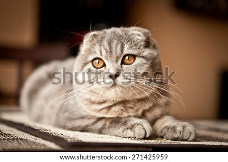 Lovable scottish fold cat - stock photo